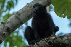 Young Celebes crested macaque Macaca nigra in Tangkoko National Park, Sulawesi, Indonesia. A young Celebes crested macaque Macaca nigra in Tangkoko National Stock Photo
