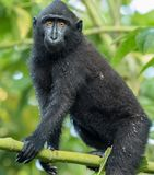Young Celebes crested macaque Macaca nigra in Tangkoko National Park, Sulawesi, Indonesia. A young Celebes crested macaque Macaca nigra in Tangkoko National Stock Images