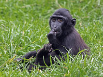 Young Celebes crested Macaque Royalty Free Stock Photo