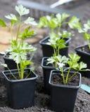 Young Celeriac Plants Stock Photo