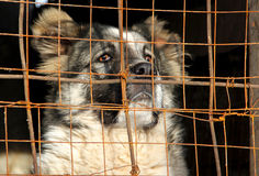 Young Central Asian Shepherd Dog in a cage Stock Images