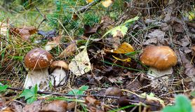 The young cepes growing in wood in the autumn Royalty Free Stock Photos