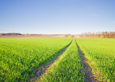 Young cereal field landscape in golden light Royalty Free Stock Images