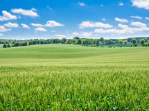 Young cereal field landscape in golden light Royalty Free Stock Photos