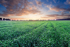 Young cereal field landscape in golden light Stock Image