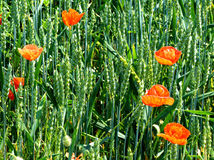 Young cereals and poppies. Wheat field - green young plants and red poppies Stock Photo