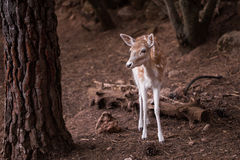Young Cervus Dama Deer Royalty Free Stock Photography