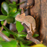 Young ceylon chamelen Stock Images