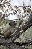 Young Chacma Baboon Stock Images