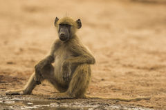 Young Chacma Baboon sitting by water's edge Stock Images