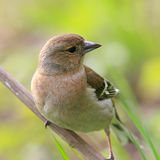 Young chaffinch female. Posing on branch Stock Photo