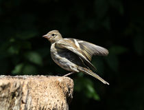 Young Chaffinch Royalty Free Stock Image