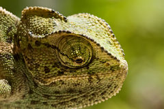 Young Chameleon closeup Stock Photo