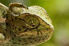 Young Chameleon closeup Stock Photo