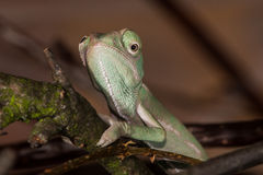 Young chameleon. Cross-eyed young chameleon macro detail Royalty Free Stock Images