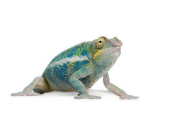 Young Chameleon Furcifer Pardalis - Ankify Stock Photo