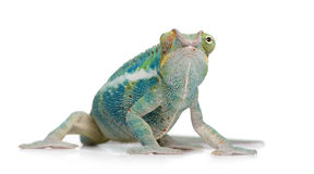 Free Young Chameleon Furcifer Pardalis - Ankify Royalty Free Stock Images - 5354569