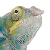 Young Chameleon Furcifer Pardalis - Ankify Royalty Free Stock Images