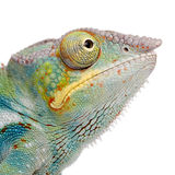 Young Chameleon Furcifer Pardalis - Ankify Royalty Free Stock Photography