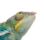 Young Chameleon Furcifer Pardalis - Ankify Royalty Free Stock Photo