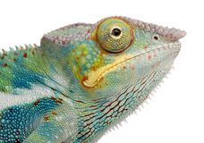 Free Young Chameleon Furcifer Pardalis - Ankify Royalty Free Stock Images - 5354649