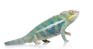 Free Young Chameleon Furcifer Pardalis - Ankify Stock Images - 5354664