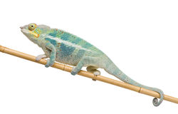 Free Young Chameleon Furcifer Pardalis - Ankify Royalty Free Stock Images - 5354779