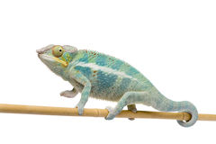 Young Chameleon Furcifer Pardalis - Ankify Stock Images