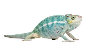 Young Chameleon Furcifer Pardalis - Nosy Be Stock Photos