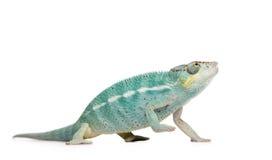 Young Chameleon Furcifer Pardalis - Nosy Be Stock Image