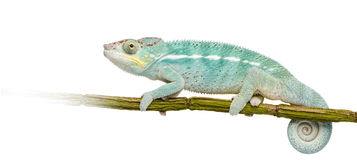 Young Chameleon Furcifer Pardalis - Nosy Be Stock Image