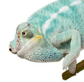 Young Chameleon Furcifer Pardalis - Nosy Be stock photography