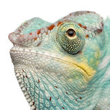 Young Chameleon Furcifer Pardalis - Nosy Be Royalty Free Stock Image