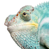 Young Chameleon Furcifer Pardalis - Nosy Be Stock Photos