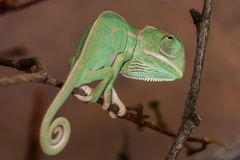 Young chameleon. Young green chameleon macro detail Royalty Free Stock Photos