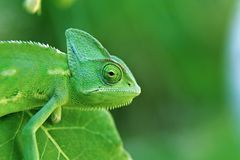A young Chameleon on a leaf stock image