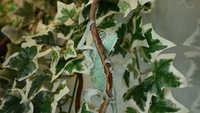 The young chameleon in the leaves is changing his skin. The young green chameleon in the leaves is changing his skin stock video