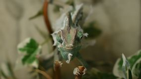The young chameleon in the leaves is changing his skin. The young green chameleon in the leaves is changing his skin and is cross eyed stock footage