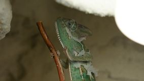 The young chameleon on the twig is changing his skin. The young green chameleon on the twig is changing his skin stock footage