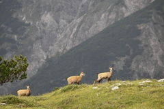 Young chamois. Three young chamois on hill in the alps Stock Photo