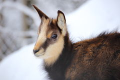 Young chamois portrait Stock Photo