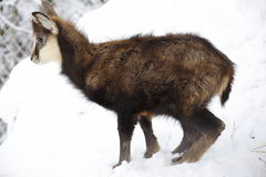 Young chamois Royalty Free Stock Image