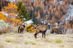 Young chamois wildlife Royalty Free Stock Photo