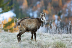 Young chamois wildlife Stock Images