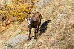 Young chamois wildlife Stock Photo