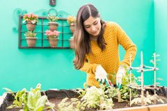 Woman Maintaining An Organic Vegetable Garden. Young charming woman using gardening tool to trim vegetable plant in garden stock images