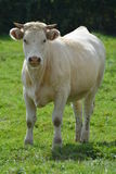 Young Charolais Cow / Young Charolles Cow Stock Photo