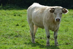 Young Charolais Cow / Young Charolles Cow Royalty Free Stock Photo
