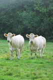 Young Charolais cows