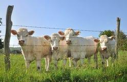 Young Charolais cows Stock Photo